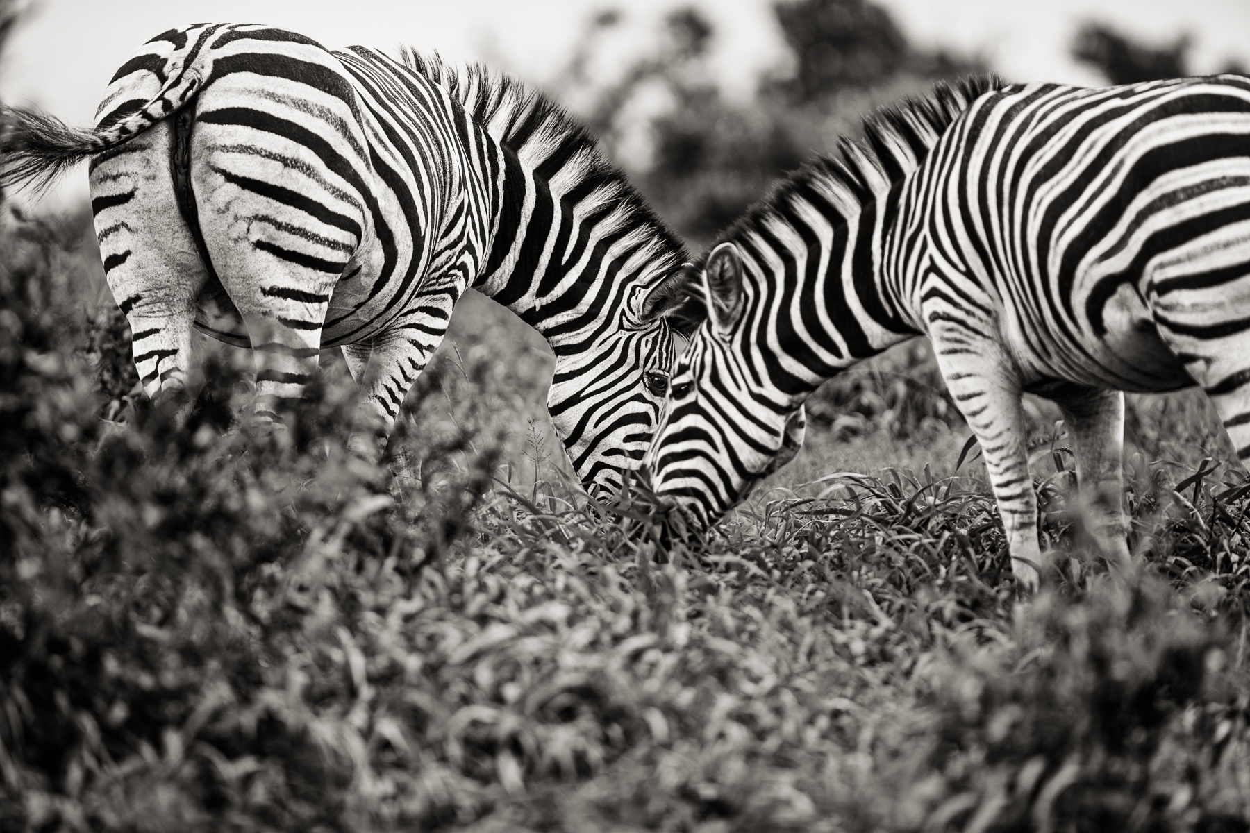 2002_17_JH_Port_Zebras_161117_SAFARI_7659_w4_RGB_