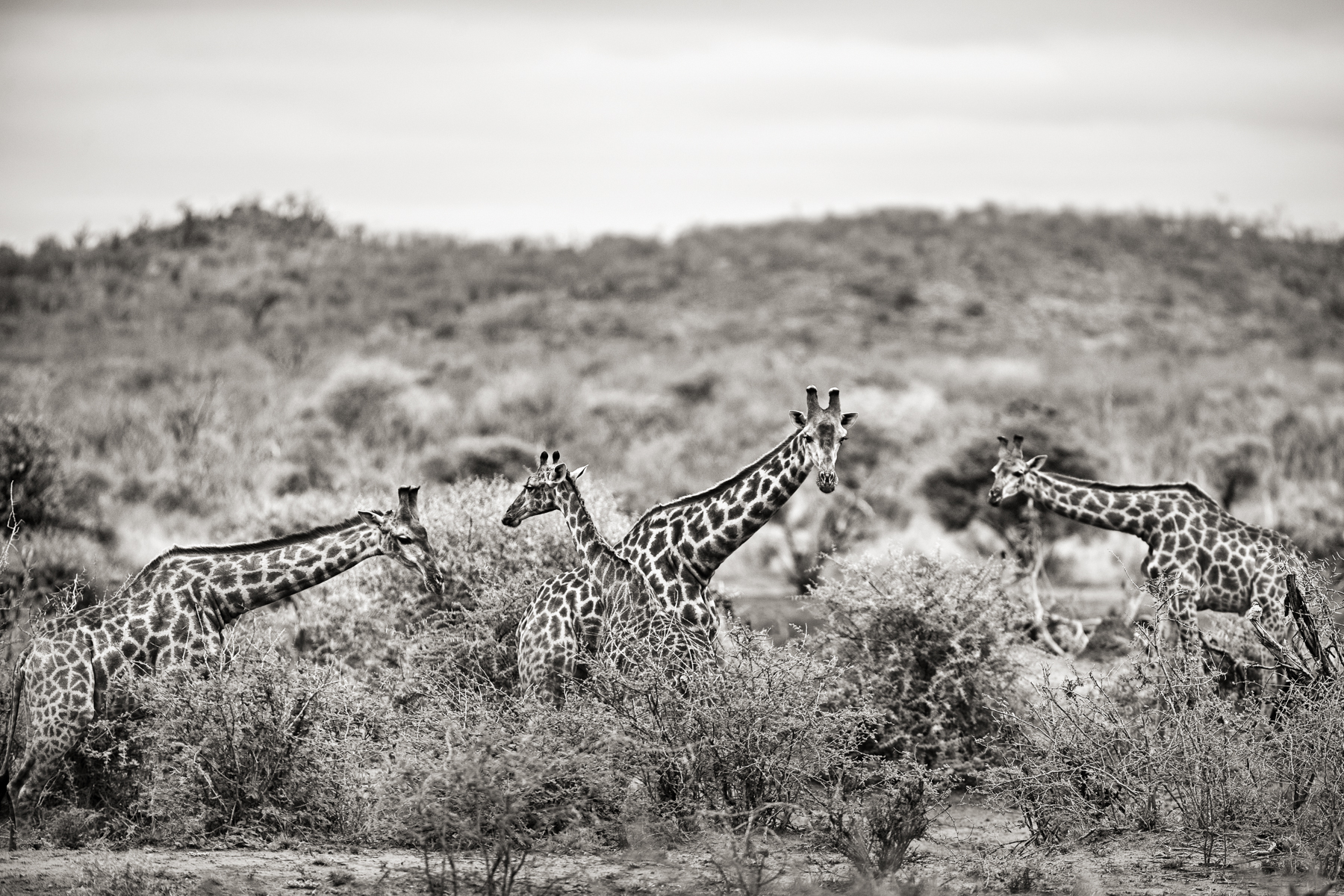 2013_09_JH_Port_GiraffeHerd_Closer_161117_SAFARI_3365_w3_RGB_